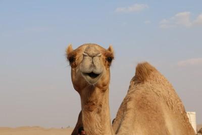 澳洲要殺1萬頭「找水駱駝」!索馬利亞人狂喊:可以送我們 古老習俗曝光