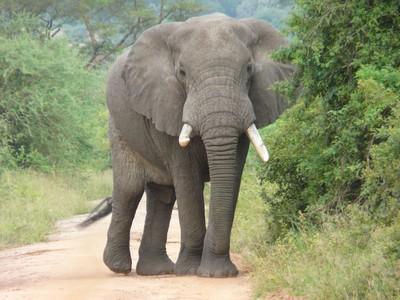 脖子骨折、四肢全斷!大象暴躁遭隔離 飼主探望直接被分屍